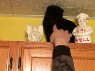 Tootsie on the top of the cupboards